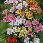 Hardy Garden Alstroemeria Ligtu Hybrids – pack of 10