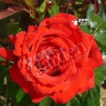 Full Standard Rose Carris – bare root