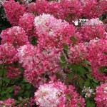 Pair of Hydrangea paniculata Diamant Rouge plants