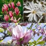Magnolia tree Collection – set of 3 varietiesin 9cm pots