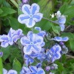 Omphalodes Starry Eyes plants – set of 3 in 9cm pots