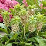 Pack of 3 Pineapple Lily bulbs (Eucomis bicolour)