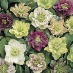 Hellebore Double Queen mix – 5 x 9cm
