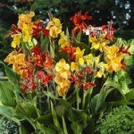 Exotic Canna tubers – pack of 5 Tall Mix