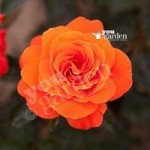 Full Standard Rose Doris Tysterman – bare root