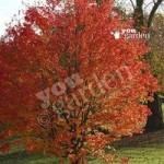 Celebration Maple Tree (Acer freemanii Celebration)
