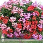 Geranium Summertime Trailing – pack of 24 large plugs
