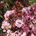 Lagerstroemia Rhapsody In Pink plant in 9cm pot