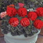 Geranium Black Velvet Scarlet – Set of 18 Plug Plants