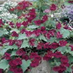 Lofos Wine Red Vine x 12 Jumbo Plug Plants
