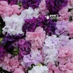 Trailing Petunia Double Cascade mix 24 plug