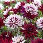 Dahlia Rebeccas World plant in 3L pot