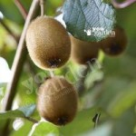 Kiwi Solissimo self-fertile plant in 9cm pot