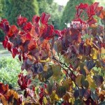Cercis Forest Pansy tree in 2L pot