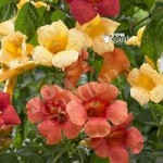 Campsis (Trumpet Vine) collection3 plants