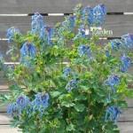 Corydalis Blue Line 9cm