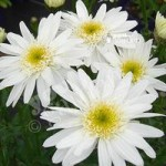 Leucanthemum Highland White Dream x 3