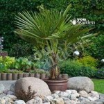 Hardy Fan Palm tree Trachycarpus 80-90cm with trunk