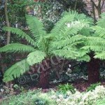 Hardy Tree Fern (Dicksonia antarctica) log – 2 foot