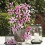 Raymond Evison Boulevard Patio Clematis collection – 3 plts