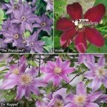 Repeat flowering Clematis Collection – 3 varieties