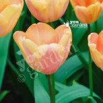 Tulip Apricot Fox Size: 11/11 pack of 10 bulbs