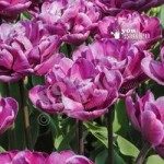 Tulip Blue Diamond Size:11/12 pack of 12 bulbs