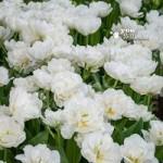 Tulip Mount Tacoma (Peony flowered) Size:10/11 pack of 15 bu