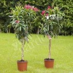 Pair of Plaited Stem 1M Pink Oleander standard trees