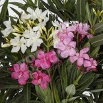 New Oleander Tricolour plant – 3 colours in one 19cm pot