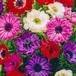 Anemone St. Brigid Mixed Size:3/4 pack of 100 bulbs