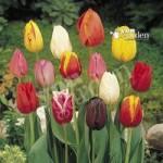 Value Triumph Tall Tulips – 50 bulbs Size 9/11