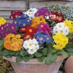Polyanthus Crescendo Mix pack 12 jumbo plugs