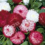 Bellis Habanera Mix pack 12 jumbo plug plants