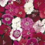 Dianthus Festival Mix pack 12 jumbo plugs