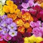 Rosebud Primrose Primlet Double Mix pack 12 jumbo plug plants