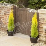 Pair of Golden Cypress Trees 80cm