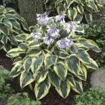 Hosta Wide Brim pack x 3