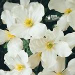 Clematis montana Grandiflora – pack x 3 plug plants