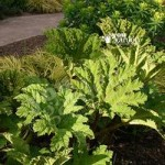 Gunnera manicata plants – 3 pack x 9cm pots