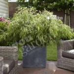 Pair of Fargesia Fountain Bamboo plants in 2L pots 60cm tall
