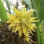 Musella lasiocarpa (Hardy Chinese Banana) plant 50cm