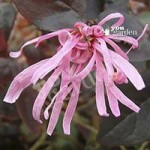 Pair of Chinese Witch Hazel Black Pearl plants in 1L pot