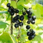 Blackcurrant Big Ben potted plant 3L