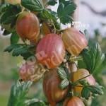 Premium Gooseberry Xenia