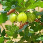 Premium Gooseberry Invicta bare root