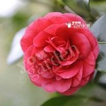 Camellia Ace of Hearts (Red) 1L