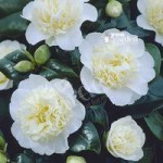 Camellia Brushfields Yellow (Cream) 1L