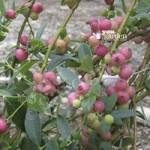 Pink Blueberry Pink Lemonade palnts – 3 pack x 9cm