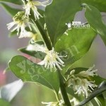 Sarcococca confusa (Sweet Box) plant in 1L pot
